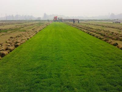 高羊茅草皮