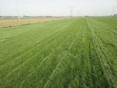 黑麦草草皮